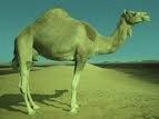 Camel imagesCAYH0G3R